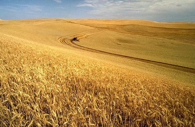 Wheat_harvest
